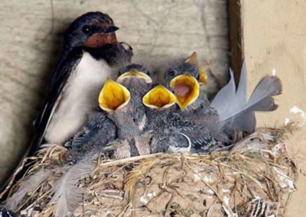 Venezia: bufera per la rimozione dei nidi di rondine per ...