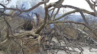 Rogo nell'Oristanese, in fumo l'olivastro millenario di Cuglieri