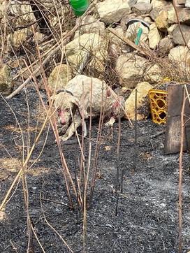 Incendi nell'Oristanese, il sacrificio di Angelo e degli altri animali