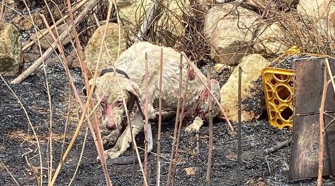 Incendi nell'Oristanese, il sacrificio degli animali