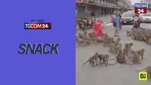 """Thailandia, scoppia """"la rissa"""" tra due gruppi di scimmie: colpa della fame"""