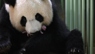 Doppio lieto evento allo zoo di Beauval: nate due gemelle di panda gigante