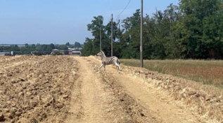 Zebra in fuga da un allevamento nel Reggiano: per trovarla mobilitati carabinieri e droni