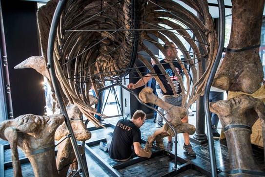 Lo scheletro del triceratopo Big John all'asta a Parigi: vale un milione e mezzo di euro