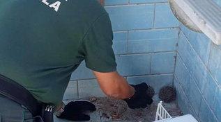 """Roma, piccoli di riccio salvati dopo la caduta in una piscina scoperta vuota: """"Per loro è una tomba a cielo aperto"""""""