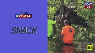 Mucca resta incastrata su un albero: era in fuga dall'uragano Ida