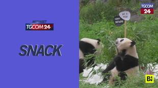 Torta di bambù e palle di neve: la festa di compleanno dei panda è tutta un programma