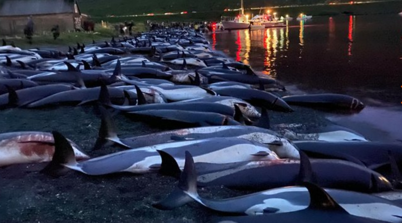 La mattanza dei delfini nelle Isole Faroe