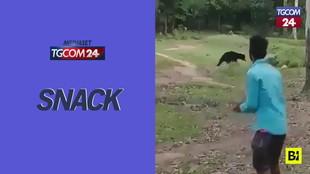 India, partita di calcio tra... orsi selvatici