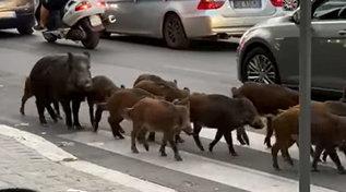 Famiglia di cinghiali passeggia a Roma tra le auto: foto fanno giro dei social