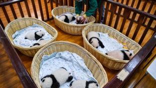 Panda giganti, in Cina è boom di cuccioli nati nel 2021