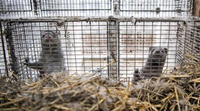 Covid, la Finlandia inizierà a vaccinare i visoni