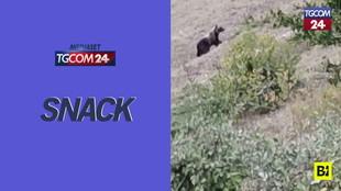 L'orso marsicano torna sui Monti Sibillini dopo 10 anni