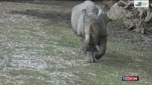 Morto a 54 anni il più vecchio rinoceronte al mondo