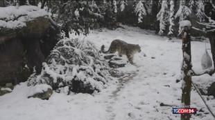 La Giornata del leopardo delle nevi: ne vengono uccisi fino a 450 all'anno