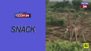 "La lotta tra giraffe è... a ""colpi di judo"""