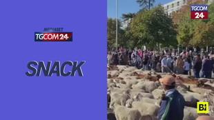 """Madrid """"invasa"""" da migliaia di pecore: ecco perché"""