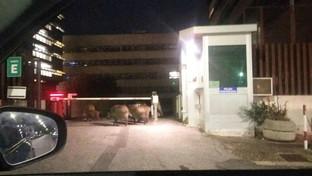 Roma, i cinghiali arrivano in tribunale: l'avvistamento all'alba